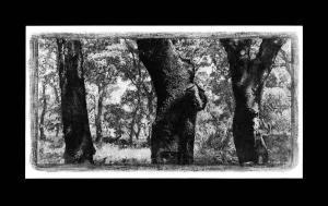 Trois troncs de chênes, 2000