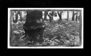 Tronc de chêne dans fougères, 2000