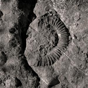Digne ammonite fossile 1 (1995)