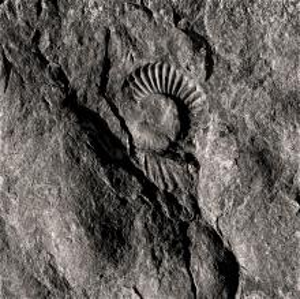 Digne ammonite fossile 2 (1995)
