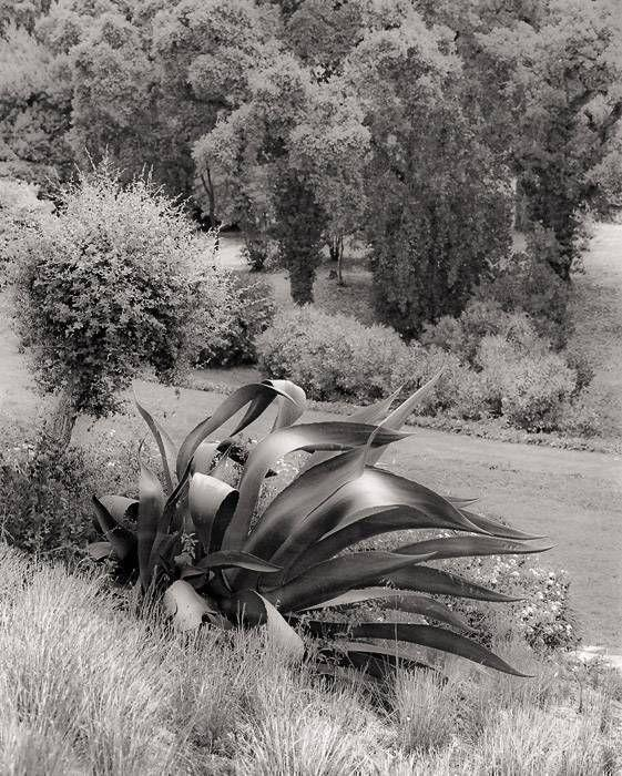 Agaves penchées 217b