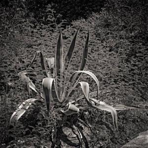 Aloes dans graminées 31