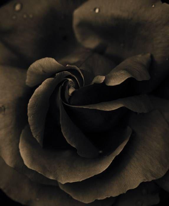 Rose 097