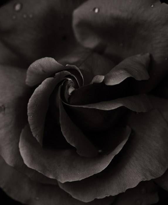 Rose 098