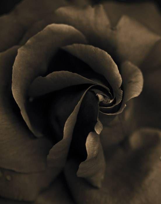 Rose 134