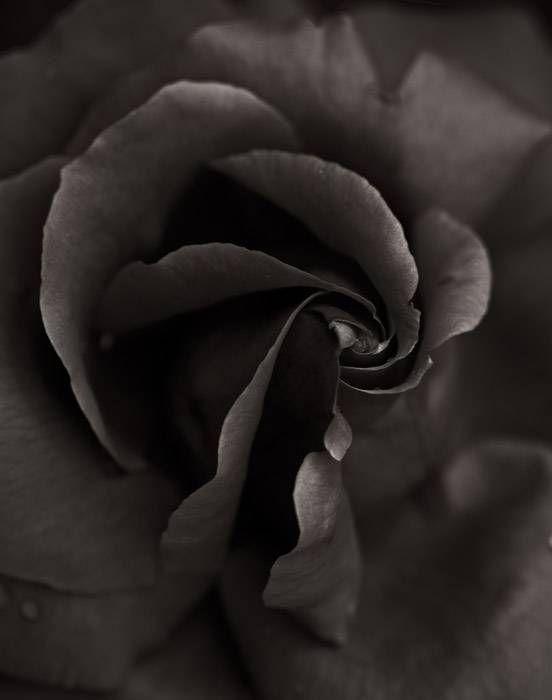 Rose 136