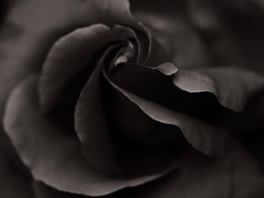 Rose 212